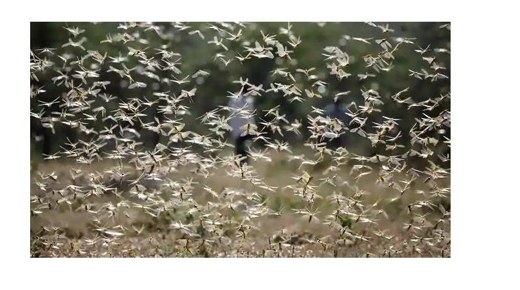 A swarm of desert locusts flies over a ranch. (Reuters)